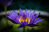 Purple lotus in a tub used for lotus cultivation, decorative garden.