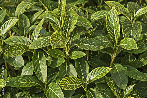 Sanchezia speciosa Leonard tree Poster