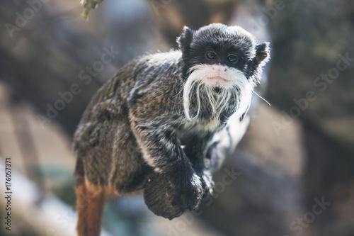 Foto op Canvas Aap Emperor tamarin (Saguinus Imperator). Wild animal