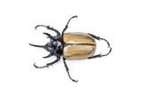 Closeup Rhinoceros beetle isolated on white background - 176059521