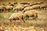Sheep herd grazing on wheat stubble field - 176072756