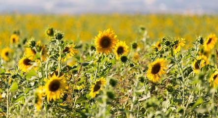 Sunflower flowers grow on nature