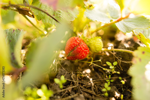 Poster ripe red strawberries in the garden