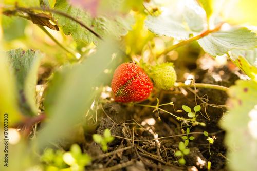 Fridge magnet ripe red strawberries in the garden