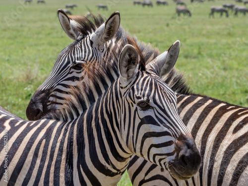 Zebras Cuddling Poster
