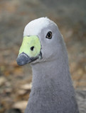 Cape Barren Goose (1) - 176083173