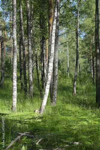Fotobehang Berkenbos Birch Grove
