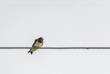 portrait of swallow sitting on wire on white background - 176090546