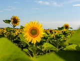 Beautiful landscape with sunflower field over cloudy blue