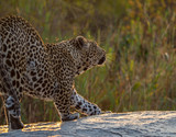 Leopards of Sabi Sand game reserve, South Africa - 176091731