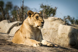Adult lioness lying on a rock - 176097775