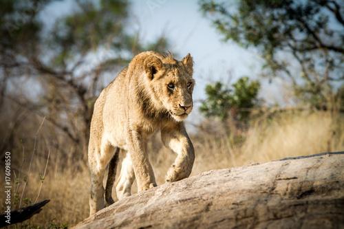 Aluminium Lion Sub-adult male lion walking