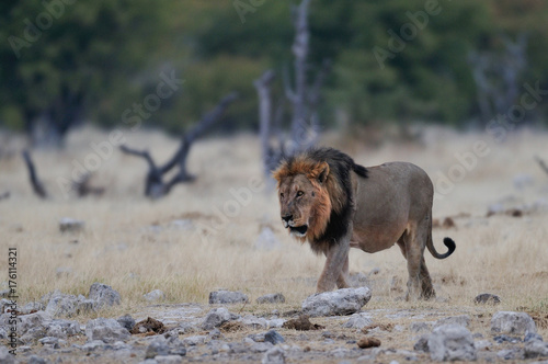 Aluminium Lion Löwen Männchen, Etosha Nationalpark, Namibia, (Panthera leo)