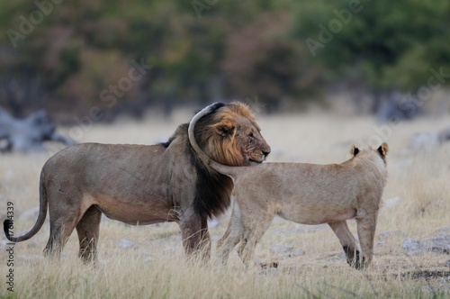 Löwen Begegnung, Etosha Nationalpark, Namibia, (Panthera leo) Poster