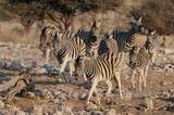 Steppen Zebras laufen, Burchell's Zebra, Etosha Nationalpark, Namibia, (Equus burchelli) - 176114983