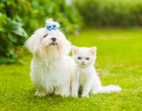 Maltese puppy and chinchilla cat sitting together on green grass - 176116139