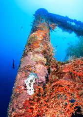 A huge Funeral Pyre Nudibranch on a coral encrusted shipwreck
