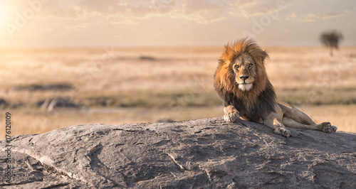 Leinwandbild Motiv A male lion is sitting on the top of the rock in Serengeti nation park,Tanzania