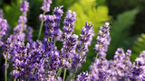 Lavendel - 176121370