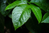 background texture green Leaf and water drop soft focus - 176130925