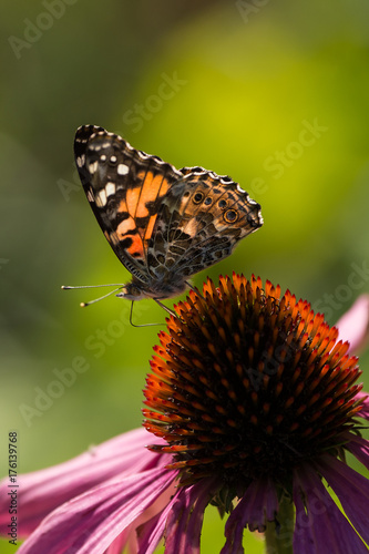 Fotobehang Vlinder Painted Lady
