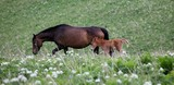 horse and young foal grazing on green field - 176141774