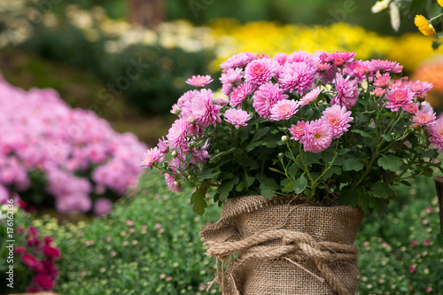 Poster bouquet of beautiful chrysanthemum flowers outdoors