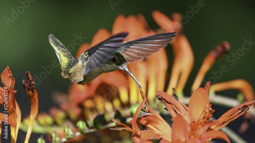 Ryży Hummingbird