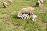 Flock of sheep - 176164560