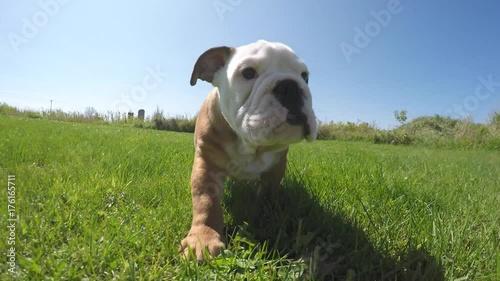 Naklejka english bulldog puppy super closeup gopro 4k