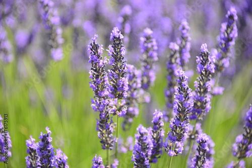 Fotobehang Lavendel Lavendelblüte in Spanien