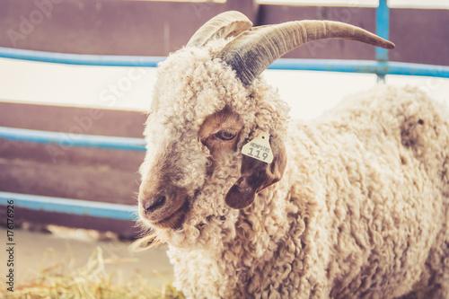 Angora goat (Capra Aegagrus Hirucs) at the county fair in vintage garden setting Poster