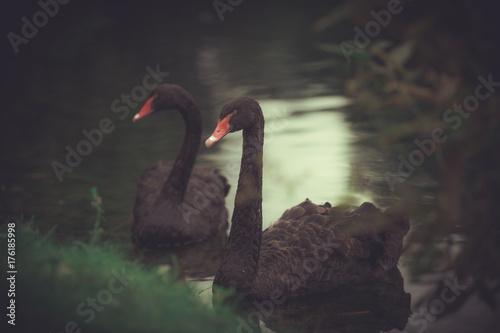 Fotobehang Zwaan Black swans