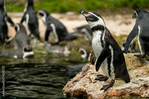 Fotobehang Pinguin Pinguin steht auf Felsen