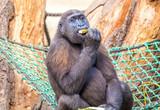 Schimpanse in Hängematte - 176203973