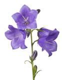 four bellflower violet large blooms on stem