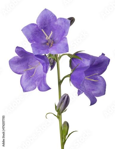 four bellflower violet large blooms on stem Plakat