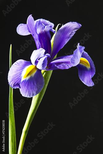 Poster flor iris en fondo negro