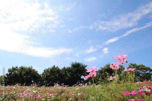 コスモスの花畑 Poster