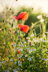 Wonderful poppy seed in the field at sunrise, Europe