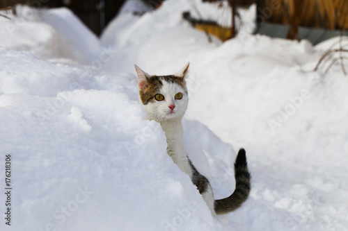 A cat is purebred in the snow, in snowdrifts.
