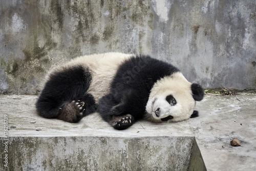 Fotobehang Panda Resting giant panda, Chengdu, China
