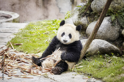 Fotobehang Panda Giant panda rests after eating bamboo, Chengdu, China