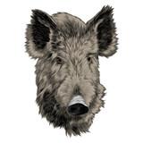 boar head sketch vector graphics color picture. - 176230968