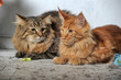 maine coon and Siberian cat together