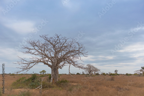 Aluminium Baobab Typical African tree known as Imbondeiro. African plain. Angola.