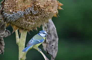 Blaumeise mit verblühter Sonnenblume