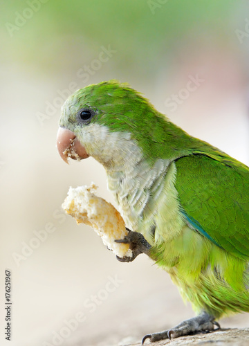 Aluminium Papegaai Parrot eating bread