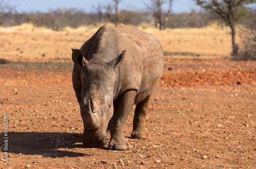 Aluminium Neushoorn Nashorn, freilebend in Namibia