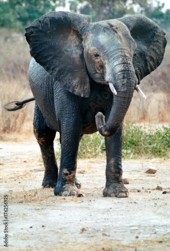 éléphant en colère